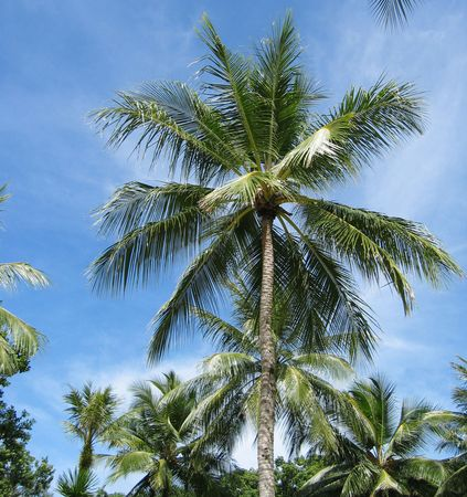 Coconut Tree, Palau
