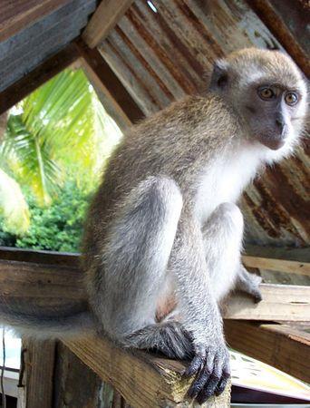 Monkey, Palau