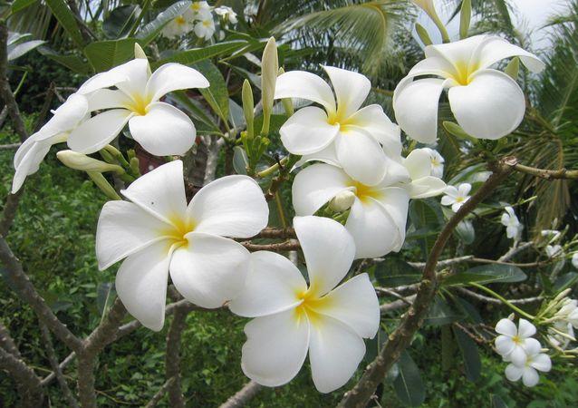 Wild Flowers of Palau 7